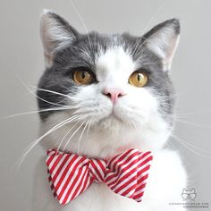 """catsofinstagram: """" From @catinberlin: """"I'm Min(i) and I'm ready for the holidays! I love wearing bow ties and actually co-own a bow tie company with my tabby brother from another mother.""""..."""