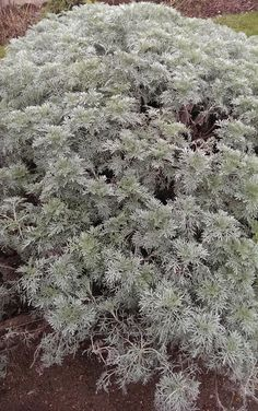 Artemisia vulgaris plant- How to grow Artemisia vulgaris plant, http://www.growplants.org/growing/artemisia-vulgaris