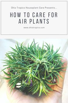 This is a complete guide on how to care for airplants, or Tillandsia. Light, fertilization, watering, flowering, and propagation!