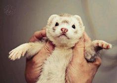 Peet the ferret!! Awe, so sweet Peet!