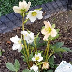 Helleborus niger 'Happy Days' x hardy Colorful Garden, Happy Day, Compost, Seasons, Landscape, Plants, Colours, Flowers, Composters
