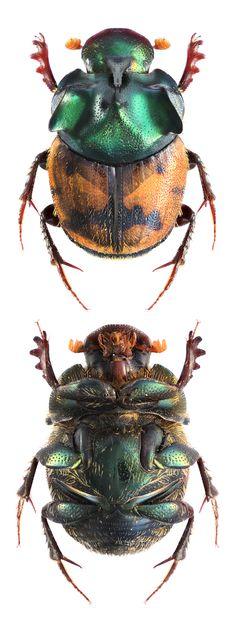 Onthophagus argyropygus