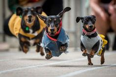 Dachshunds 'Sausage', 'Cooper' and 'Sassy' promote the inaugural dachshund race at the Oktoberfest f... - Newspix/REX Shutterstock