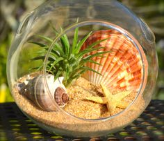 ♥´¨) ¸.•´ ¸.•*´¨)¸.•*¨) (¸.•´ (¸.•`♥~This terrarium kit has a natural feel. Filled with Earthy tan sand. So lovely! With a beautiful fan shaped shell ( Pecten Massacarensis Sea Shell) , a conch shell and a Tan starfish and your own little air plant. These terrariums have a flat