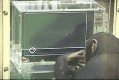 monkey research chimp chimpanzee chimpanzees