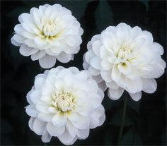 """BRIDE TO BE dahlias  4"""" on compact 3' plant.  Good cut flower"""