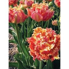 Махровые бахромчатые тюльпаны Esprit