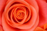Illustrate the natural contours of a rose in your drawings.