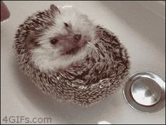 Here are 6 baby hedgehogs doing things. Just because.