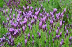 thrives in warmer climates and is hardy to zone Growing Spanish lavender is a good alternative to the more common English lavender if you live in a warmer climate. Lavender Plant Care, Lavender Seeds, Growing Lavender, Lavender Plants, Patio Plants, Outdoor Plants, Spanish Lavender, French Lavender, English Lavender Plant