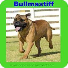 Bullmastiff Dog Breed Information - an imposing protector Best Guard Dog Breeds, Calm Dog Breeds, Best Guard Dogs, Giant Dog Breeds, Bulldog Breeds, English Mastiff, Bullmastiff, Dogs Of The World, Mans Best Friend