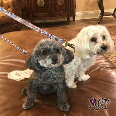 💕 Pixie & Charlie are Puttin' on The Ritz this Memorial Day Weekend 👍🏼 #snarlsbarkley #queenofhearts #havanese #toypoodle Unique Dog Collars, Havanese, Queen Of Hearts, Memorial Day, Pixie, Dogs, Animals, Animales, Animaux