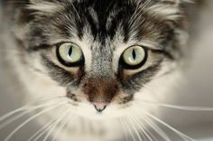 Cat Behavior | Attention-Seeking Behavior in Cats