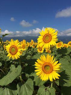Akeno, Hokuto City, Sunflower Festival