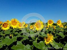 Photo about Sunflower natural background. Close-up of sunflower. Image of background, plant, sunflowers - 152173679 Natural Background, Sunflower Fields, Close Up, Dandelion, Bloom, Nature, Flowers, Plants, Summer
