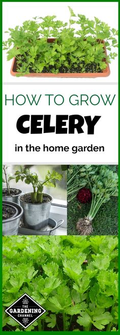 Learn how to grow celery plants in your home garden. Be sure to plan for a long germination period and start indoors. Read this to learn how.