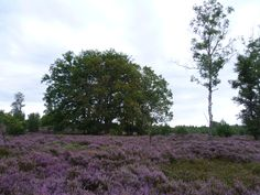 2013-09-01 Even genieten van de paarse heide nabij de Diepe Hel