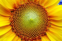 """""""The Fibonacci sequence (often wrongly named the Fibonacci series) is the sequence 1, 1, 2, 3, 5, 8, 13, 21, 34, 55, ... where after the first two entries, each number is the sum of the two previous numbers. Many, many papers have been written about the Fibonacci sequence and its occurrences, particularly in nature. One such occurrence is in the centre of the sunflower. Try counting the number of left-handed and right-handed spirals emanating from the centre. Amazing!"""""""