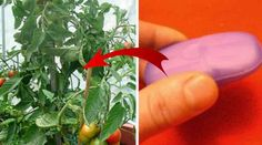 Atunci când fructele și legumele din grădină sunt gata să se coacă, trebuie să le ferești de insecte.  Cum odată cu venirea căldurii își fac apariția și insectele neprietenoase, probabil că te simți copleșit de înlăturarea lor. Nu mai cheltui banii pe produse chimice, care vor afecta și grădina ș Stuffed Peppers, Vegetables, Gardening, Home, Agriculture, Insects, Plant, Stuffed Pepper, Lawn And Garden