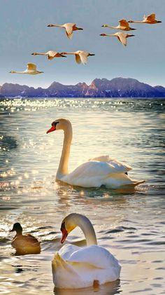 Ducks in Water & Birds Flying Overt Canvas Wall Art - Canvas Wall Decor Swan Pictures, Bird Pictures, Nature Pictures, Beautiful Swan, Beautiful Birds, Animals Beautiful, Animals And Pets, Cute Animals, Pretty Birds