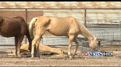 There has been an outpouring of help from citizens across the Coastal Bend after several extremely malnourished horses were found at a ranch in Robstown. Horse Information, Local News, Investigations, Police, Coastal, Horses, Animals, Animales, Animaux