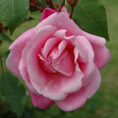 'Bon Silène' Rose