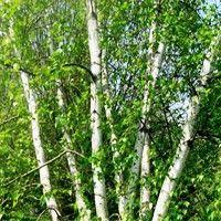 Birch - Whitespire--fast growing, heat resistant, low maintenance, turns yellow in the fall Garden Trees, Garden Paths, Garden Fun, Outdoor Baby, Outdoor Living, Flower Landscape, Woodland Garden, Farm Gardens, Trees And Shrubs