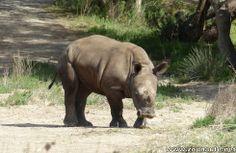 Deuxième naissance d'un rhinocéros blanc à la Réserve Africaine de Sigean