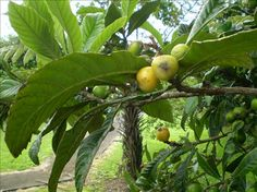Loquat chutney - not sure I'd try this, but with 5 zillion loquats around, maybe I'll need to!