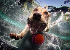 Priceless!! Awesome dog facial expressions when retrieving a ball from the pool.