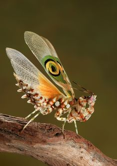 Pseudocreobotra wahlbergii,...: Photo by Photographer Igor Siwanowicz - photo.net