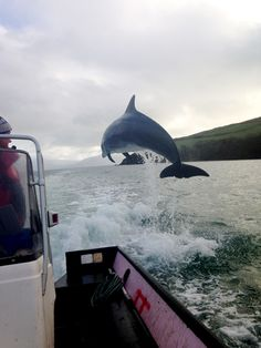 Un solitario delfin salta junto a un bote en una bagía de la costa sur de Irlanda (Mike Murphy, 2014)