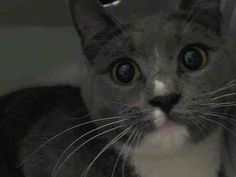 TO BE DESTROYED 5/9/14 ** Beautiful Daniella needs our help tonight or it may be her last night alive. Please pledge, foster or adopt!! Daniella allows the stroke, but gets annoyed with the touch and attempts to bite and swat at the assessor's hand. ** Manhattan Center  My name is DANIELLA. My Animal ID # is A0998409. I am a female gray and white domestic sh mix. The shelter thinks I am about 1 YEAR  I came in the shelter as a STRAY on 05/01/2014 from NY 10462