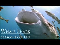 Cамая большая акула в мире | FOTOVARKA