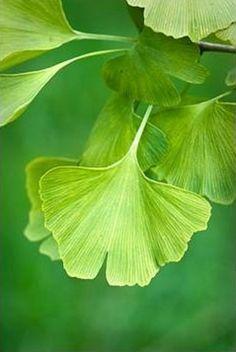 Blatt - Blätter / Leaf - Leaves + Ginkgo