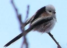 ptaki Europy na Pinterest - Szukaj w Google