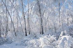 Rauduskoivu – kansallispuu Finland, Outdoor, Nature, Outdoors, Naturaleza, Outdoor Games, Outdoor Living, Scenery