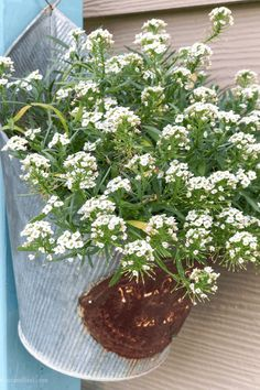 Sweet Alyssum - easy to grow flowers for containers #gardening #planting #flowers