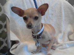 URGENT!* TINK Pet ID: A4715335 Chihuahua Mix • Adult • Female • Small **TINK in need of Adoption or Rescue!!*   L.A. County Animal Care & Control: Baldwin Park Baldwin Park, CA
