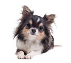 """This Chihuahua cutie asks...""""I love you...do you love me?""""...found on fundogpics.com"""