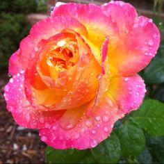 My grandmother had a rose bush with the same coloring and they were the most fragrant I have ever smelled.