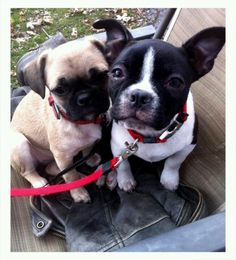 Pickles and cricket Boston terrier and French bulldog/pug