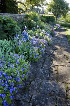 Irises and herbaceous geraniums in the blue border in the garden at Great Chalfield Manor, Wiltshire