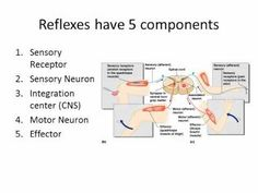Reflex Lecture  Definition, Types of reflexes based on receptors and effectors, 5 components of reflex, Withdrawal reflex, Muscle spindles, Golgi Tendon organs, Stretch Reflex, Polysynaptic Reflex (Crossed Extensor Reflex)