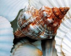 Sea Shells | Flickr - Photo Sharing! Sea Shells ..