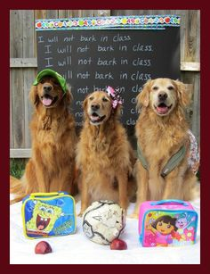 Revisit this board for Goldens --- Back to school 2011