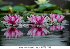 Beautiful waterlilies on a lake - stock photo