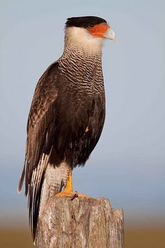 gaviao do cerrado - Google Search