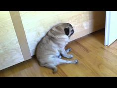 #Pug Tries To Fall Asleep While Sitting Down - #funny #dog