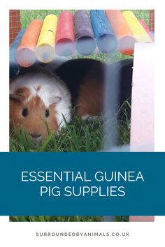 Guinea pigs need a run that is at least 6ft x 3ft to allow them to exercise. They love to eat grass and make the perfect lawnmowers! Guinea Pig Supplies, Pig Nails, Guinea Pig Run, C&c Cage, Guinea Pig Bedding, Green Fruit, Best Positions, Happy Animals, Animal Welfare